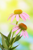 Echinacea flowers, outdoors — Stock Photo