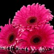 Beautiful pink gerbera flowers on black background — Stock Photo