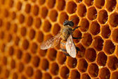 Yellow beautiful honeycomb with honey and bee, background — Stock fotografie
