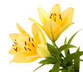 Beautiful orange lilies, isolated on white — Stock Photo