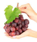 Ripe delicious grapes in hands isolated on white — Stock Photo