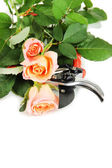 Garden secateurs and roses isolated on white — Stock Photo