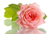 Pink rose isolated on whit — Stock Photo