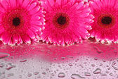 Beautiful pink gerbera flowers, close up — Stock Photo