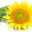 Stock Photo: Sunflower isolated on white