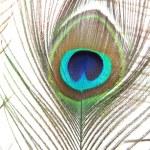 Peacock feather on white background — Stock Photo #28599839