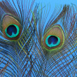 Peacock feathers on blue background — Stock Photo #28604747