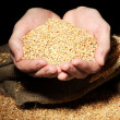 Man hands with grain, on black background — Stock Photo