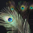 Peacock feathers on black background — Stock Photo