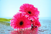 Mooie roze gerbera's, close-up — Stockfoto