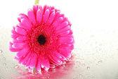 Krásná růžová gerbera květina, zblízka — Stock fotografie
