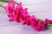 Flor hermosa gladiolo sobre fondo de madera — Foto de Stock
