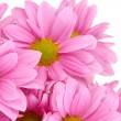 Stock Photo: Beautiful chrysanthemum isolated on white