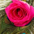 Pink rose on peacock feathers close-up — Stock Photo #28767103