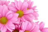 Beautiful chrysanthemum isolated on white — Stock Photo