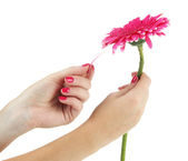 Woman hands guesses on pink chamomile , isolated on white — Stock Photo
