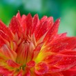 Red autumn dahlia flower in the garden — Stock Photo