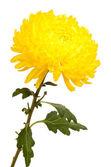Crisantemo amarillo otoño aislado en blanco — Foto de Stock