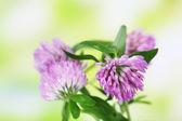 Цветы клевера, на открытом воздухе — Стоковое фото