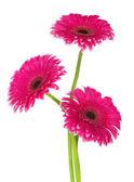 白で隔離される美しいピンク ガーベラ — ストック写真