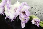 Schöne gladiolen blume auf schwarzem hintergrund — Stockfoto