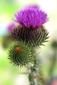 Thistle flower on nature background — Stock Photo