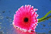 Gerbera rosa hermosa flor, cerrar — Foto de Stock