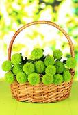 Piękny zielony chryzantema w wiklinowym koszu na stole na jasnym tle — Zdjęcie stockowe