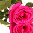 Beautiful pink rose on white background close-up — Stock Photo