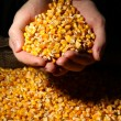 Man hands with grain, on yellow corn background — Stock Photo #28911323