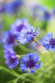緑色の背景でヤグルマギクの美しい花束 — ストック写真