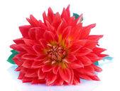 Rote Dahlie Blüte isoliert auf weiss — Stockfoto