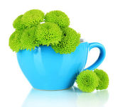 Beautiful green chrysanthemum in cup isolated on white — Stock Photo