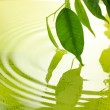 Green leaves with reflection in water — Stock Photo #29096977
