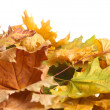 Dry autumn maple leaves isolated on white — Stock Photo