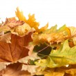 Stockfoto: Dry autumn maple leaves isolated on white