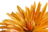 Beautiful orange chrysanthemum isolated on white — Stock Photo