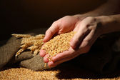 Man hands with grain, on brown background — Photo