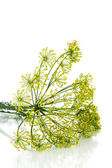 Dill flower isolated on white — Stock Photo