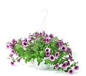 Fialové petunie v květináč na bílém pozadí — Stock fotografie