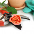 Garden secateurs and rose isolated on white — Стоковая фотография