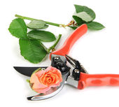 Garden secateurs and rose isolated on white — Stock Photo
