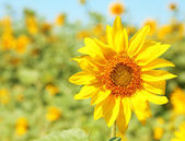 Beautiful sunflower in the field, close up — Stock Photo
