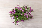 Purple petunia in flowerpot on room background — Stock Photo