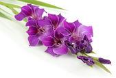 Beautiful gladiolus flower isolated on white — Stock Photo