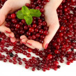 Stock Photo: Womhands holding ripe red cranberries, isolated on whit