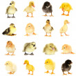 Collage of beautiful little chickens and ducklings — Stock Photo #29526733