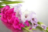 Beautiful gladiolus flower close up — Foto Stock