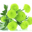 Beautiful green chrysanthemum isolated on white — Stock Photo