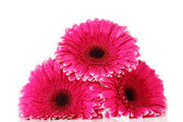 Beautiful pink gerbera flowers isolated on white — Stock Photo